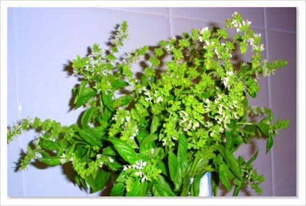 arbusto de albahaca