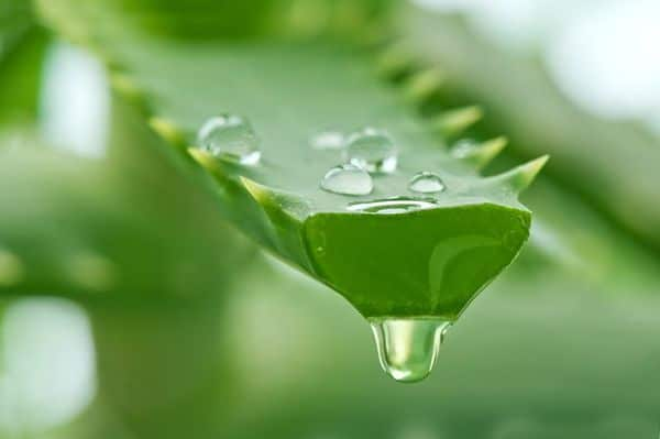 Aloe vera para hemorroides