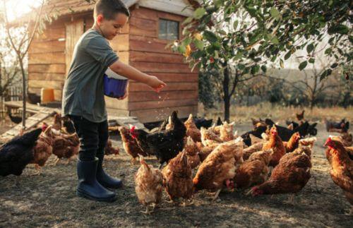 Como viven las gallinas